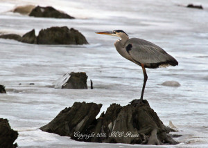 150119 FTD B Heron Great Blue 019jEf MCM Mdwlnds NJ 011915 OK FLICKR