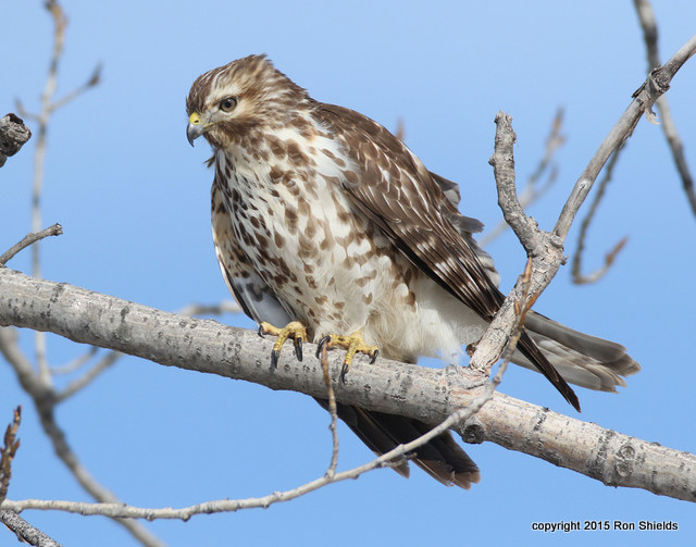 RS Immature Red-shouldered Hawk Perched