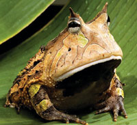 amazon-horned-frog-jDAngeli-lr