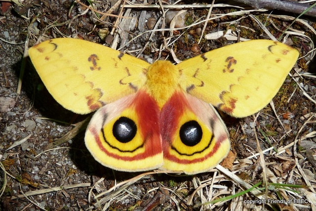 The Io Moth (Automeris io) is the proposed State Moth of NJ.