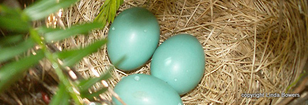 Robin eggs Linda Bowers