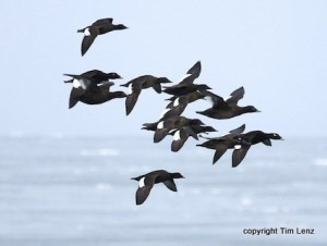 White Winged Scoter Tim Lenz