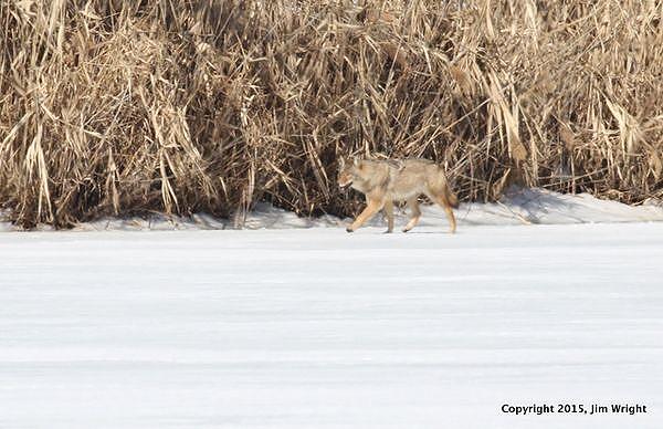 coyote JW