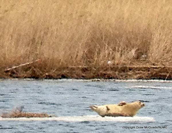 harbor seal 3-11-15 Drew lgc