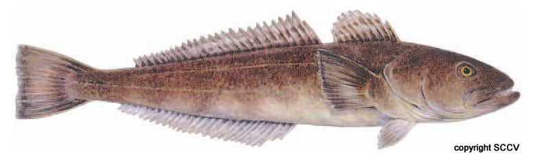 patagonian_toothfish