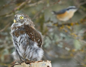 Robotic Pygmy Owl stirs excitement among other species.