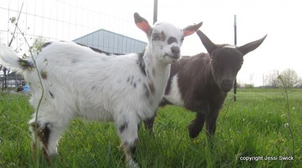 goats_Jesse Swick