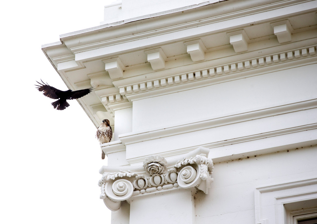 Red-tailed Hawk defends its perch above the president's office. Photo: Doug Mill/NYTimes
