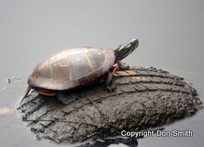 Painted Turtle Don Smith Carlstadt