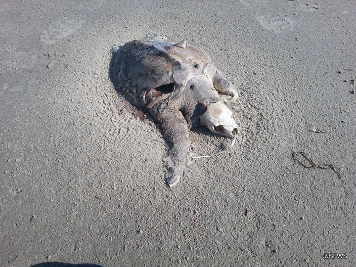 Sea Turtle Dead from balloon