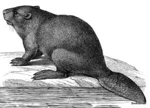 beaver1_jpg__800x600_q85_crop