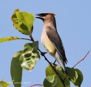 Cedar waxwing photographed by Alice Leurck.