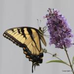 Eastern tiger Swallowtail JW