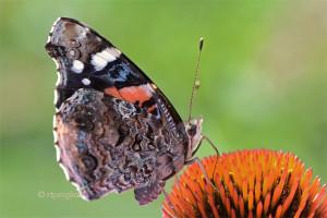July 10_Butterfly-RedAdmiral-DRoadSM_ReginaGeoghan_9067