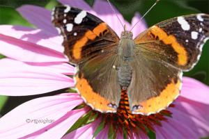 July 10_Butterfly-Redadmiral-DRoadSM_ReginaGeoghan_9048