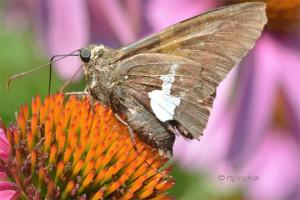 July 10_Butterfly-SilverSpottedSkipper-DRoadSM_ReginaGeoghan_9089