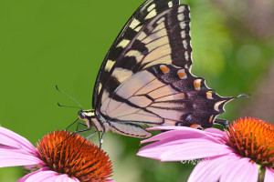 July 22_Butterfly-EasternTigerSwallowtail-DeKorteSM_ReginaGeoghan_9288