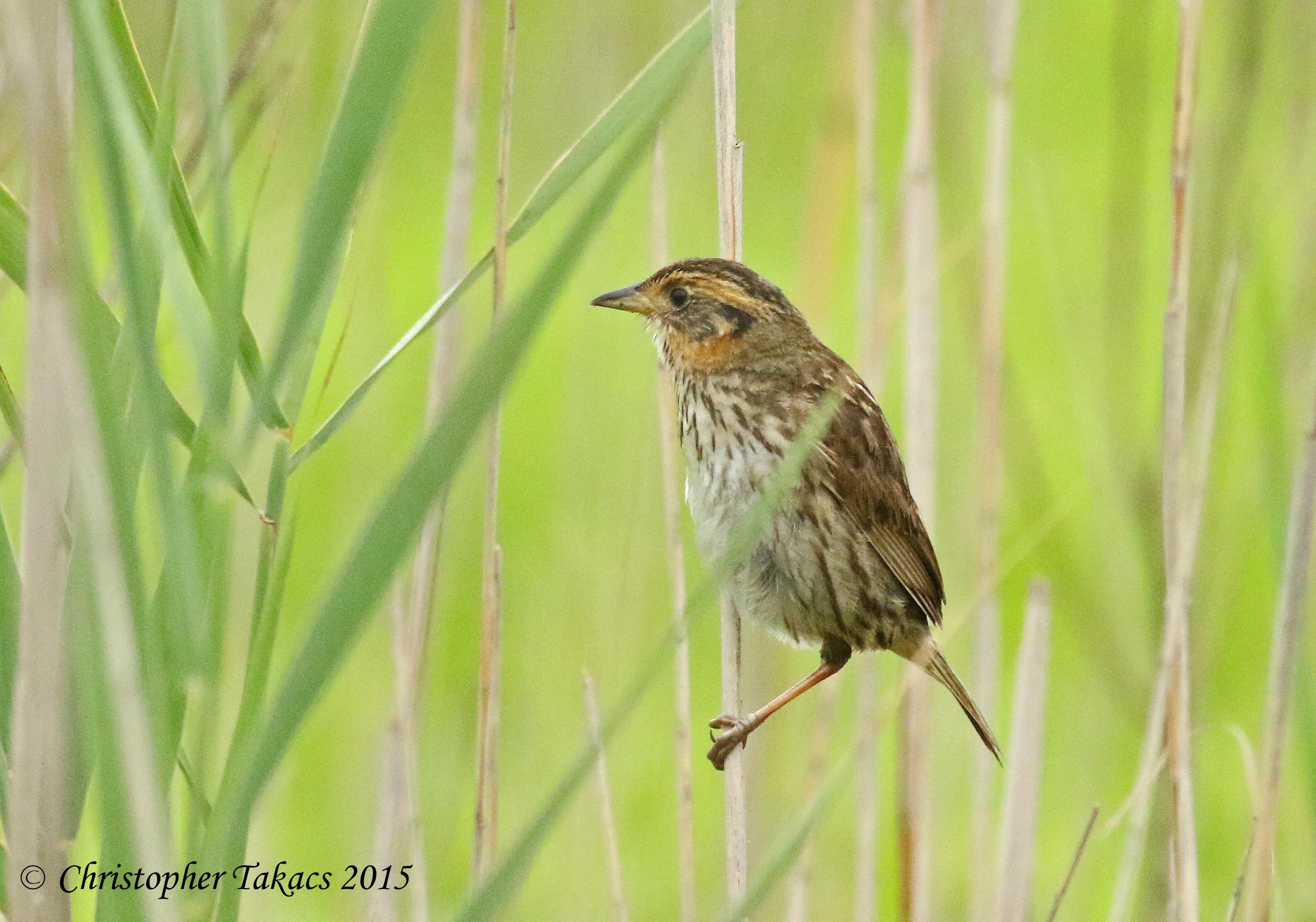 Saltmarsh Sparrow 4