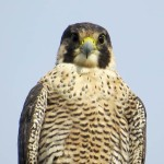 Banded Peregrine2