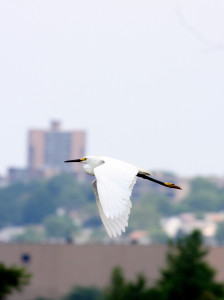 snowy egret Mill Creek