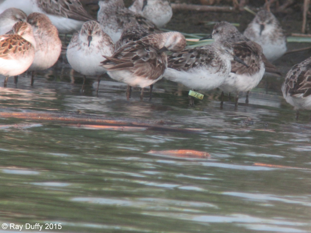 Tagged Semipalmated Sandpiper