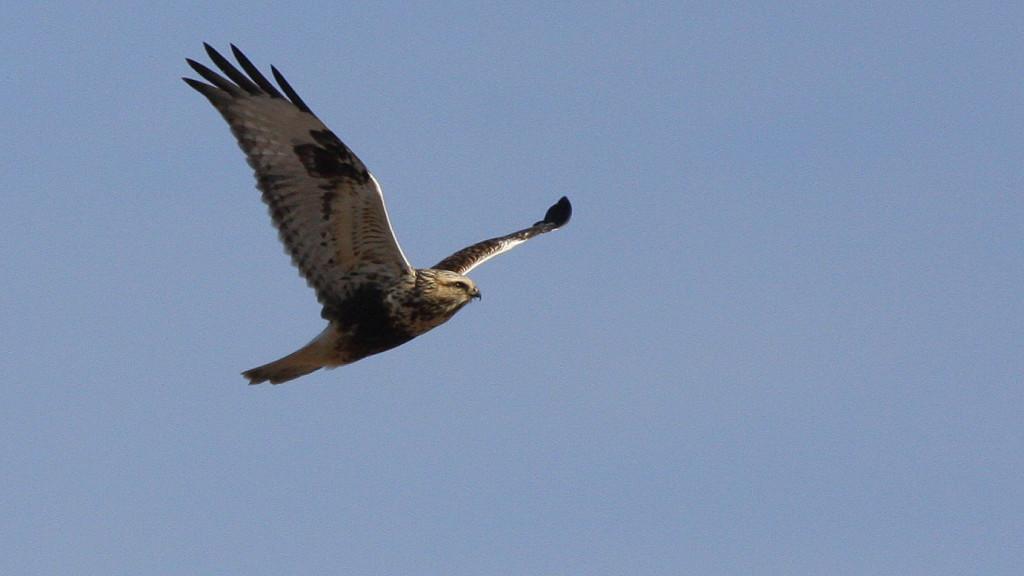 original1.Rough-legged Hawk