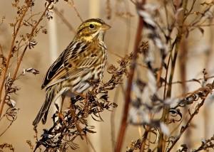 savannah sparrow fred nisenholz