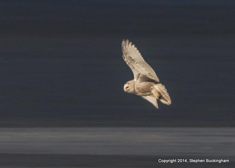 3-buckingham snowy owl 2jpg