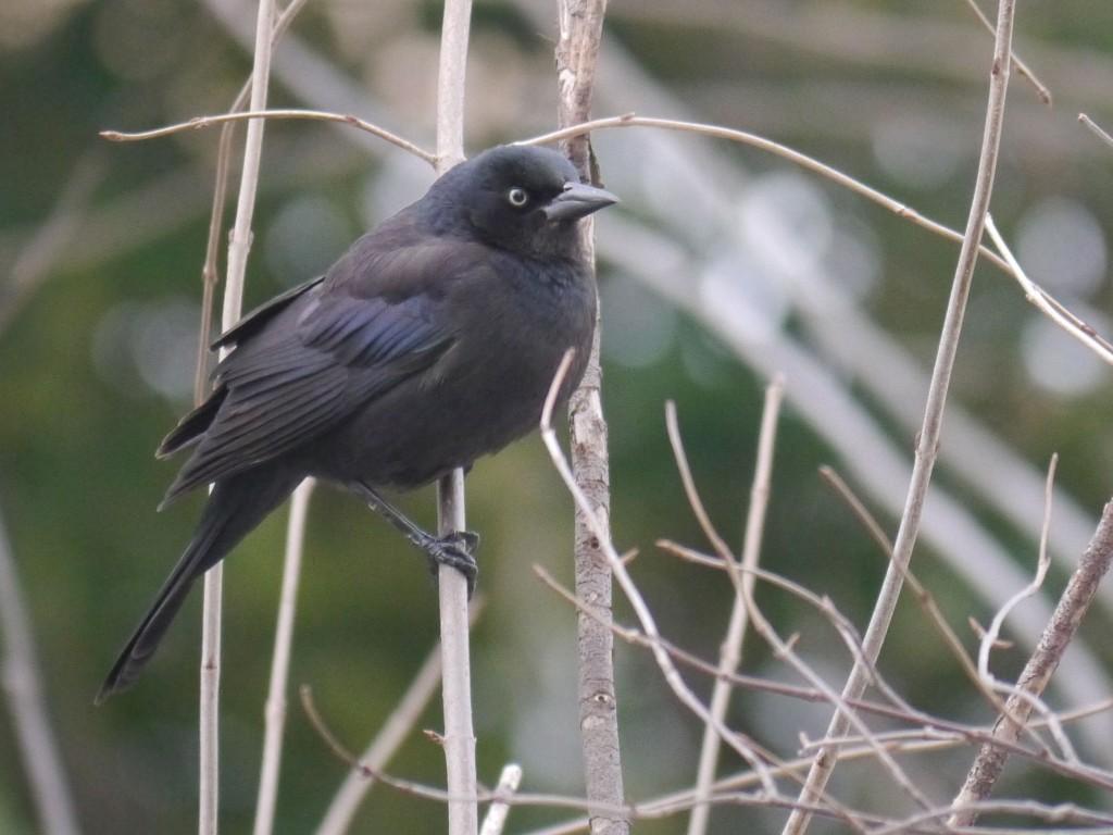 RustyBlackbirdmaleinbreedingplumage