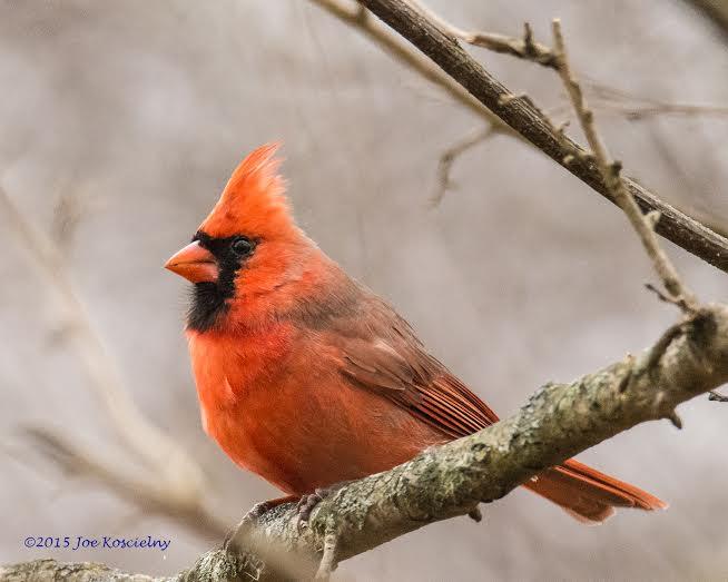 cardinal-joe