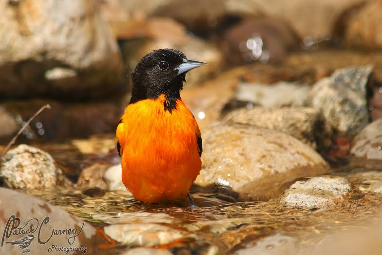 Our backyards can become important habitats for birds like this Baltimore Oriole. Photo courtesy of Patrick Carney
