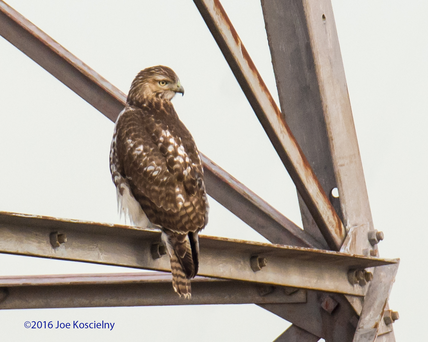 DeK 1-07-Red-tailed Hawk 9