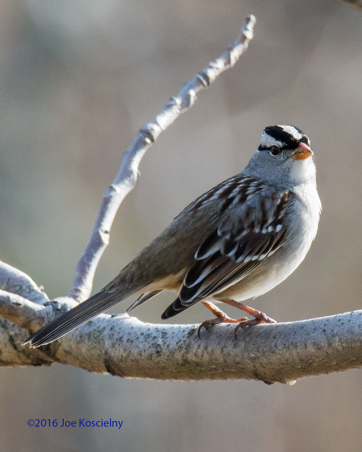 DeK 1-07-White-crowned Sparrow 3