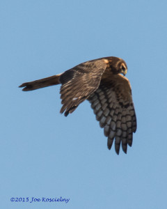 Dek 12-6-Northern Harrier 5