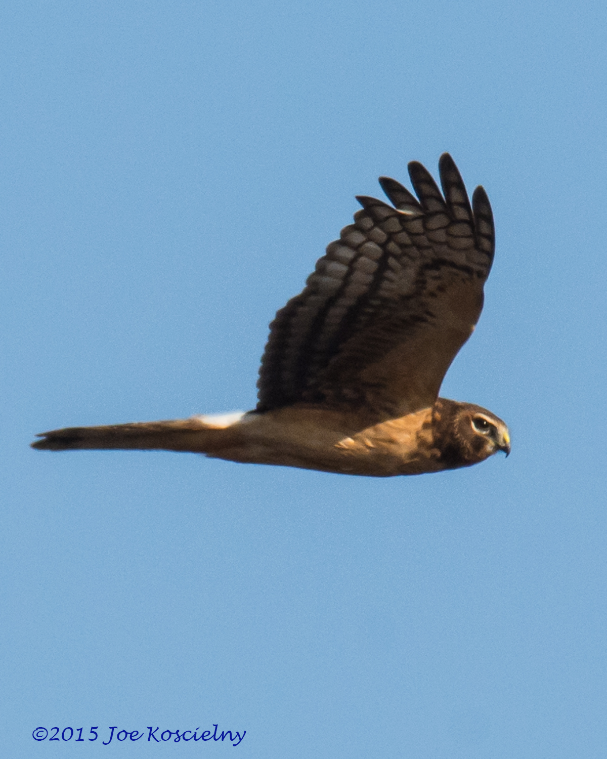 Dek 12-6 Northern Harrier-6