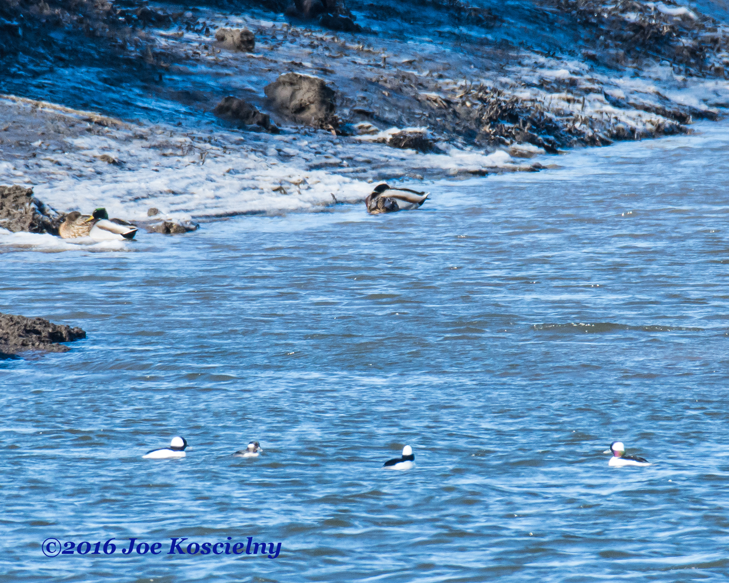 Buffleheads and Mallards