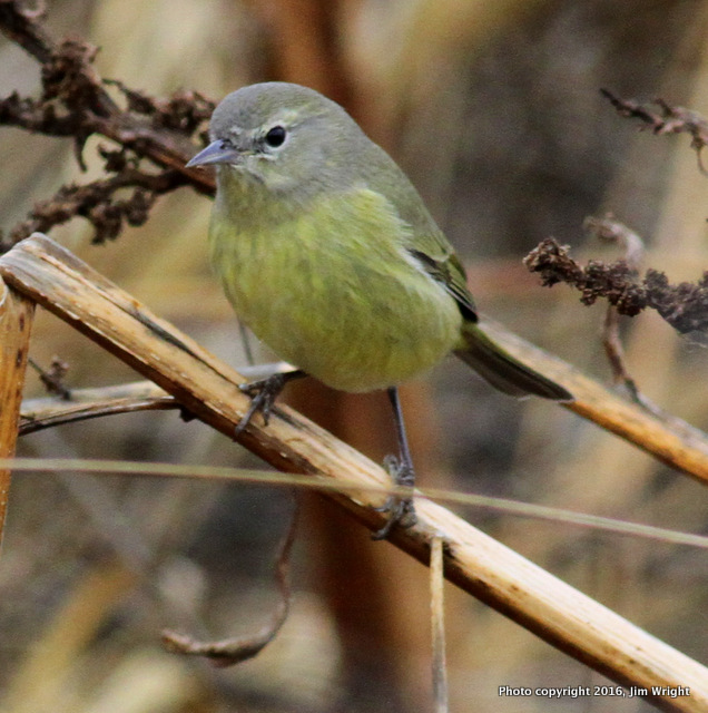 Orange-crowned Warblber Mill Creek Marsh 1.1.15