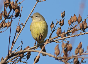 Orange-crowned Warbler Takacs 1.3.15 DeKorte