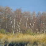 Gray birches at Mill Creek, Secaucus