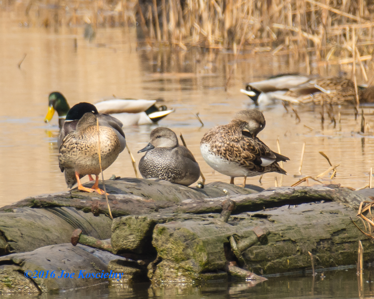 Gadwall and Mallards