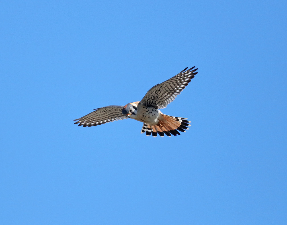 Shields Valley Brook Kestrels 4