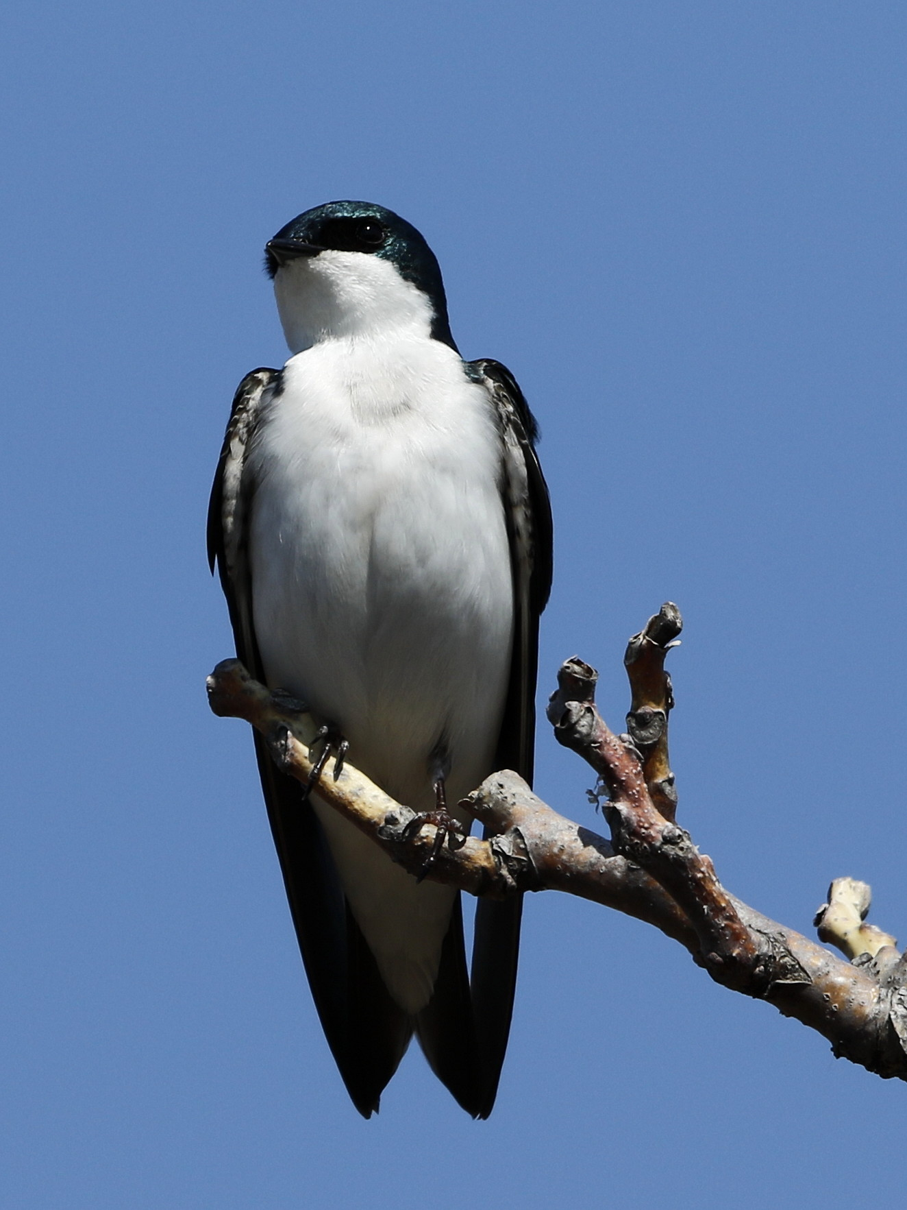 Tree Swallow Cheeseman