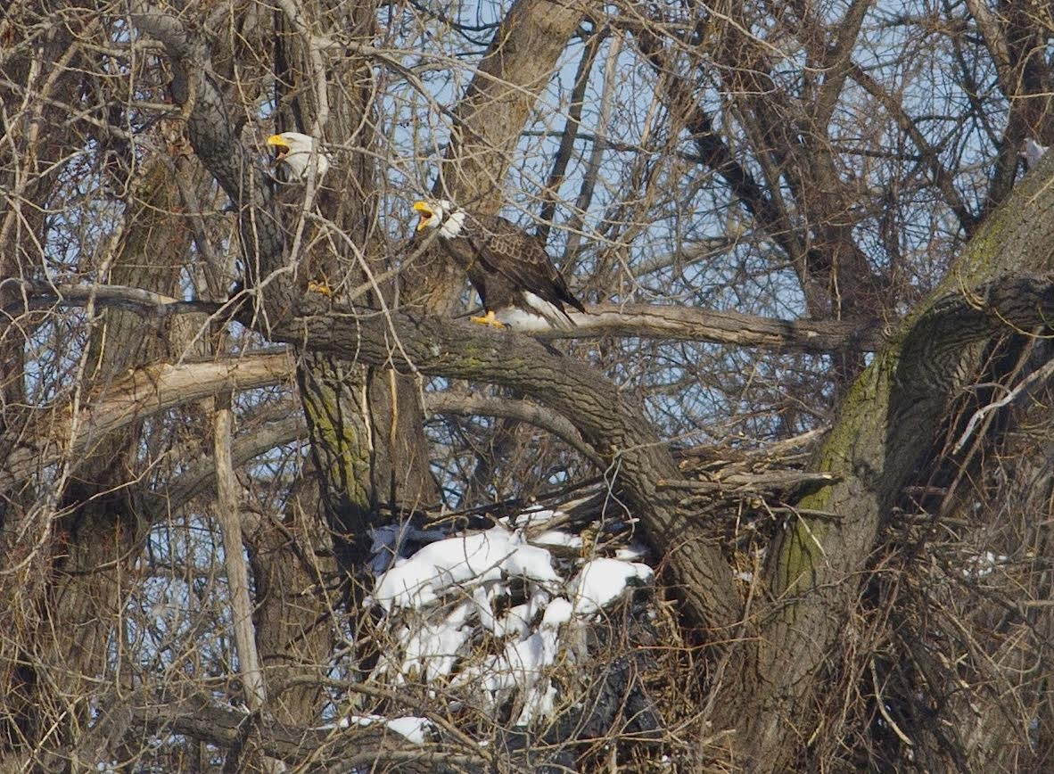 Alice and Al the Bald Eagles Along the Overpeck in Ridgefield Park