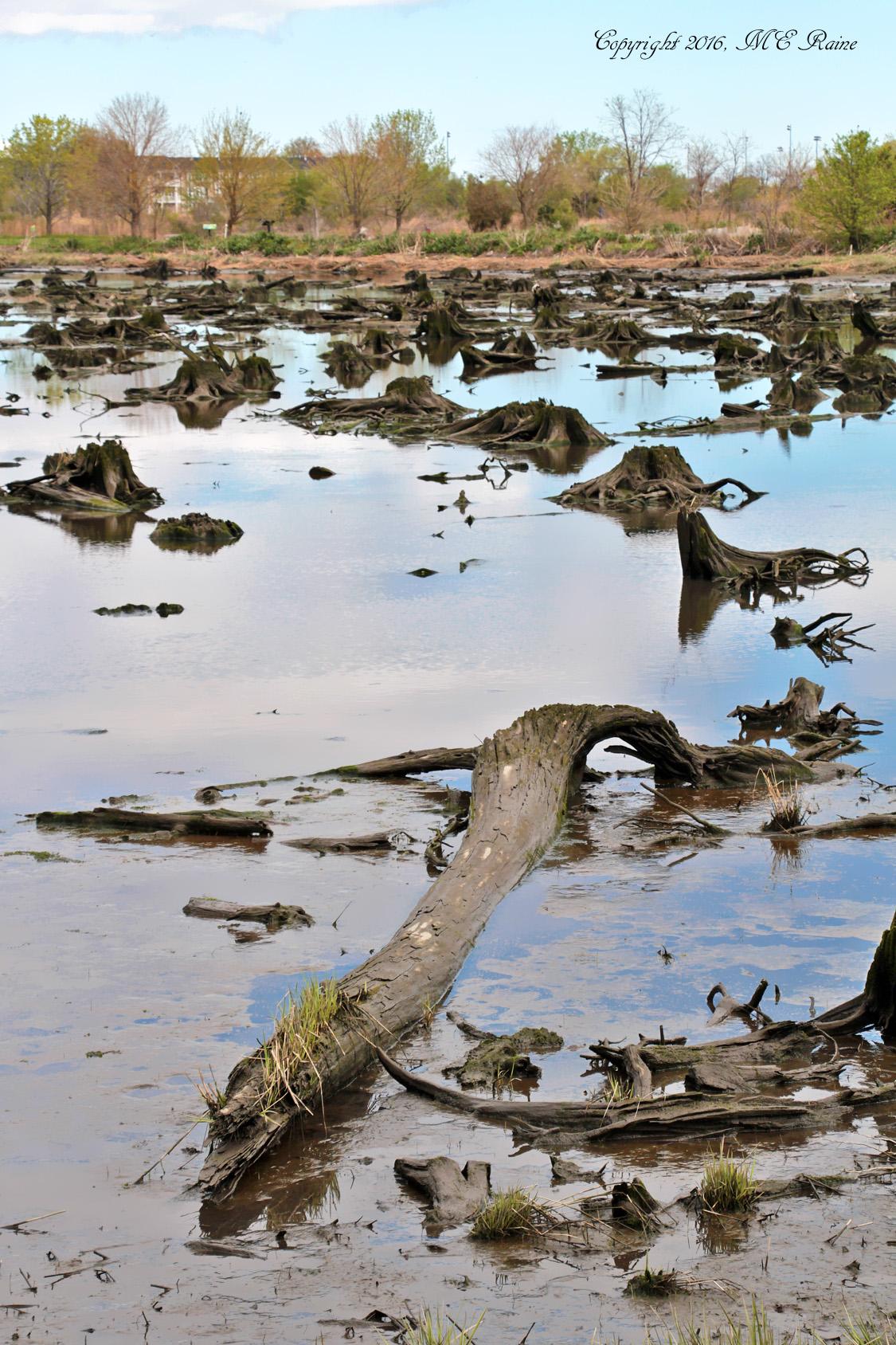 479 V Mudflats 019cf MCM Mdwlnds NJ Low Tide Cedar Stumps The Crocodile 042716 OK FLICKR (3)