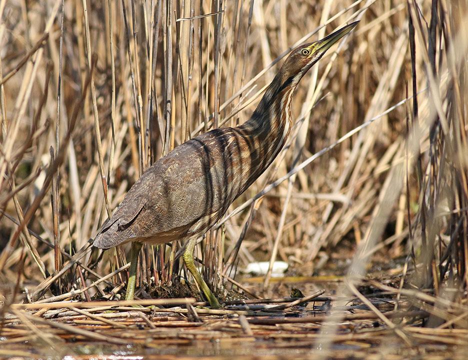 American Bittern Shields Kearny Marsh 4.25.16