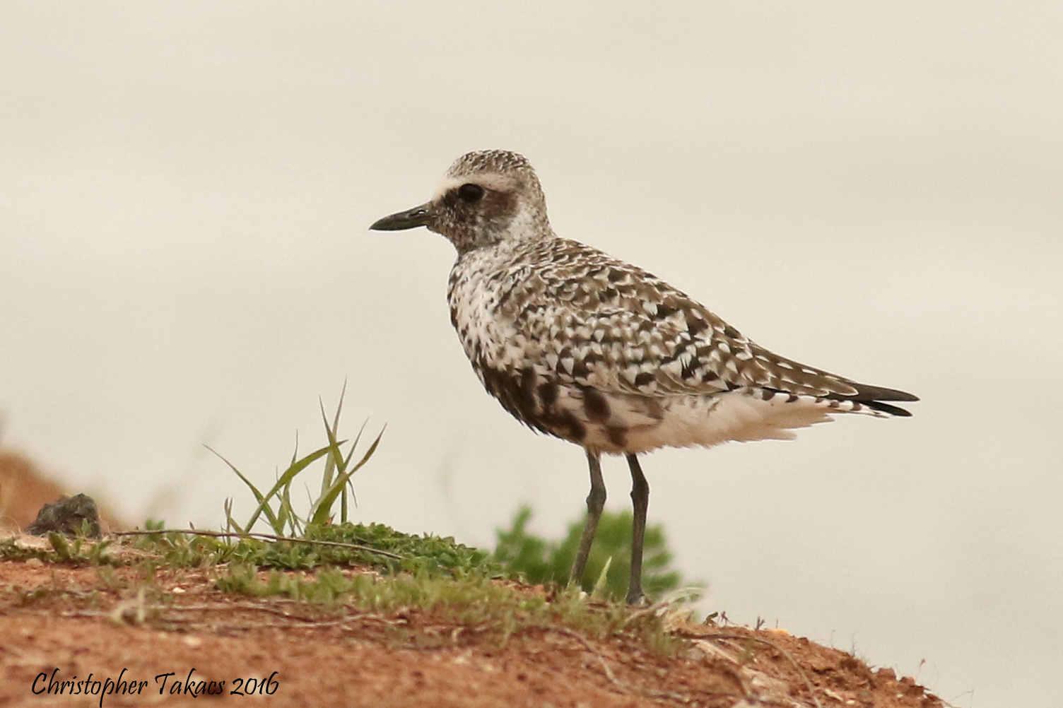 Black-bellied Plover Tacaks DeKorte 4.29.16