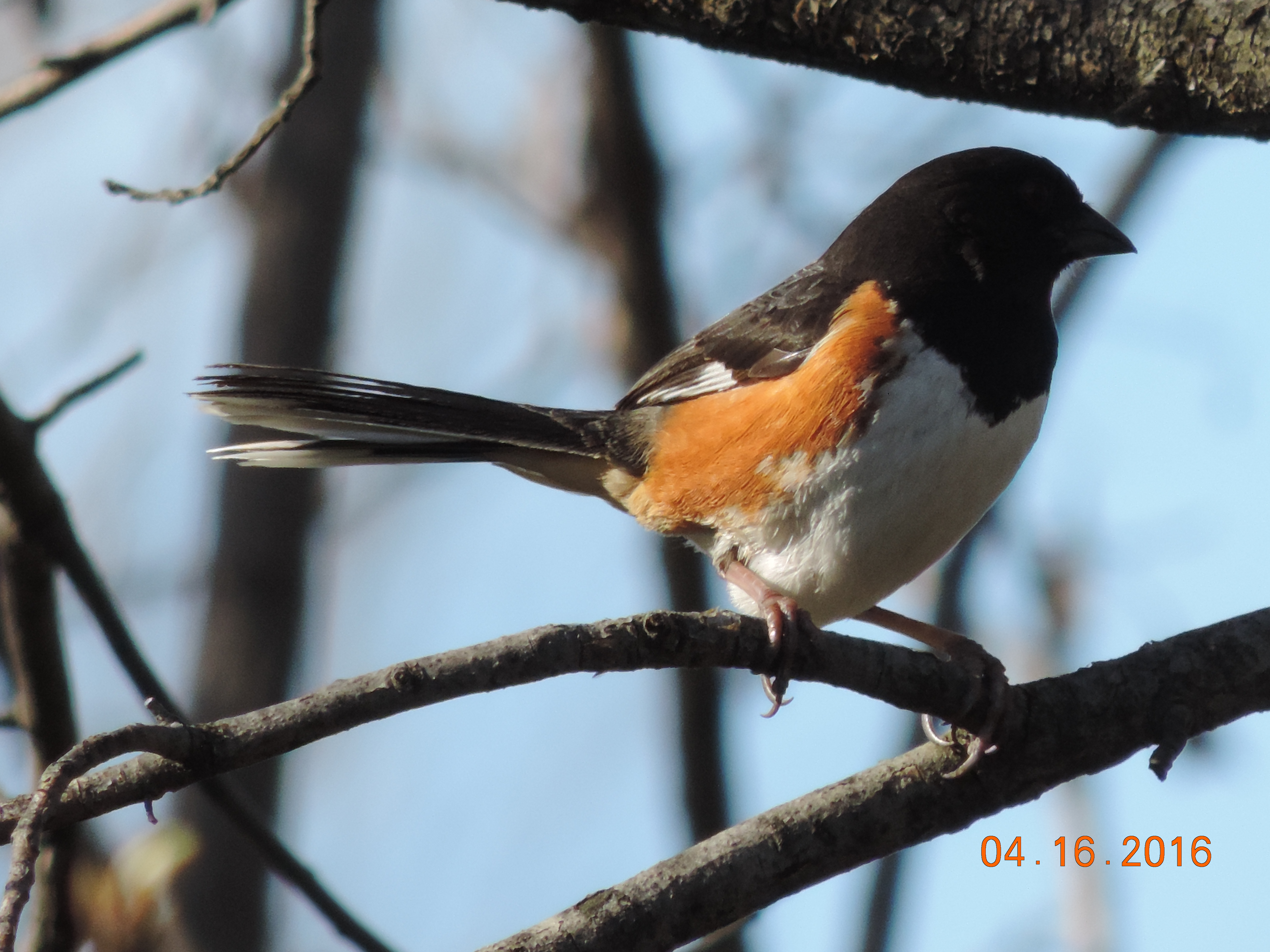 Eastern Towhee Rich Brown 4.16.16