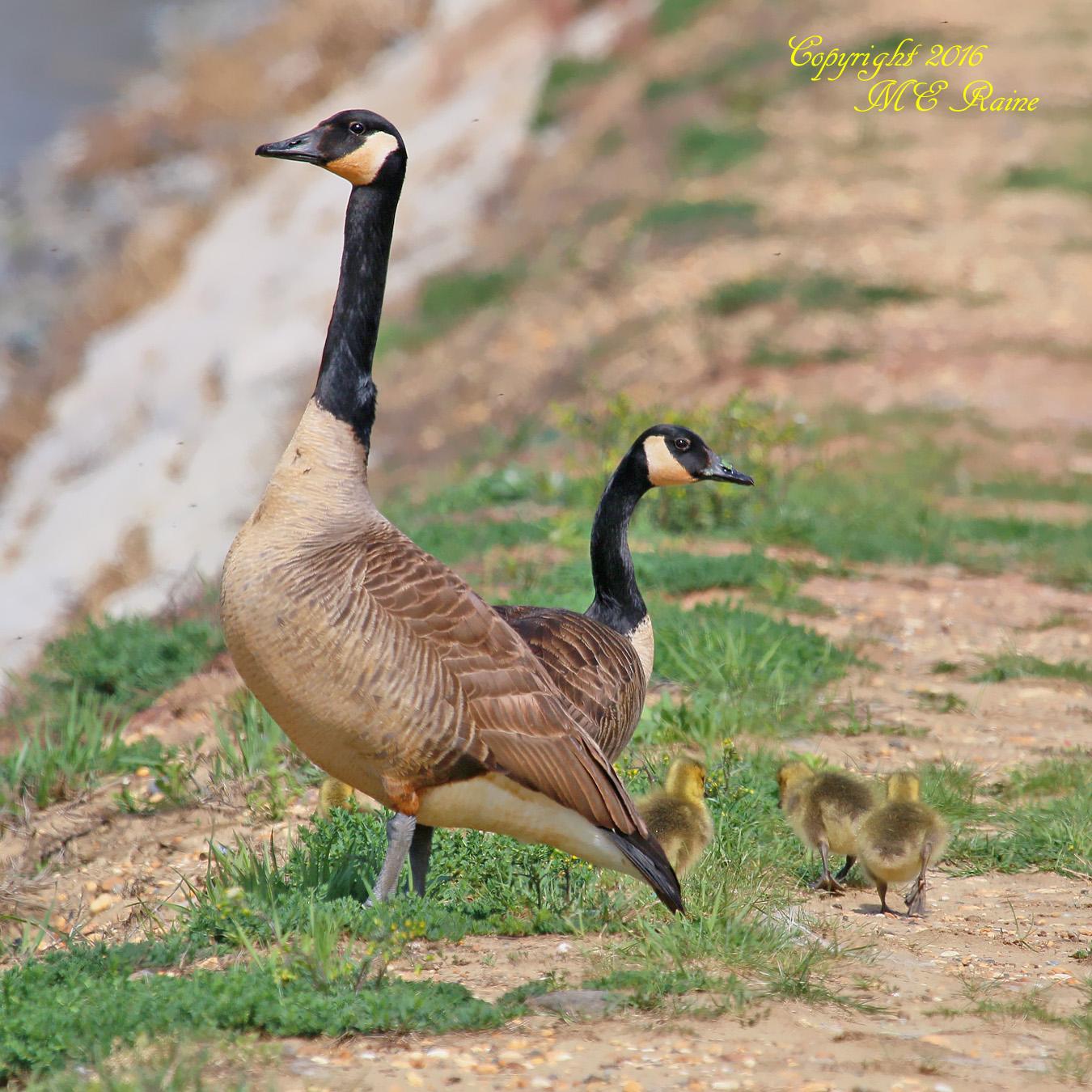 Goose Canada 007af RchrdDKorte Park Mdwlnds NJ Family w Babies 042516 OK FLICKR