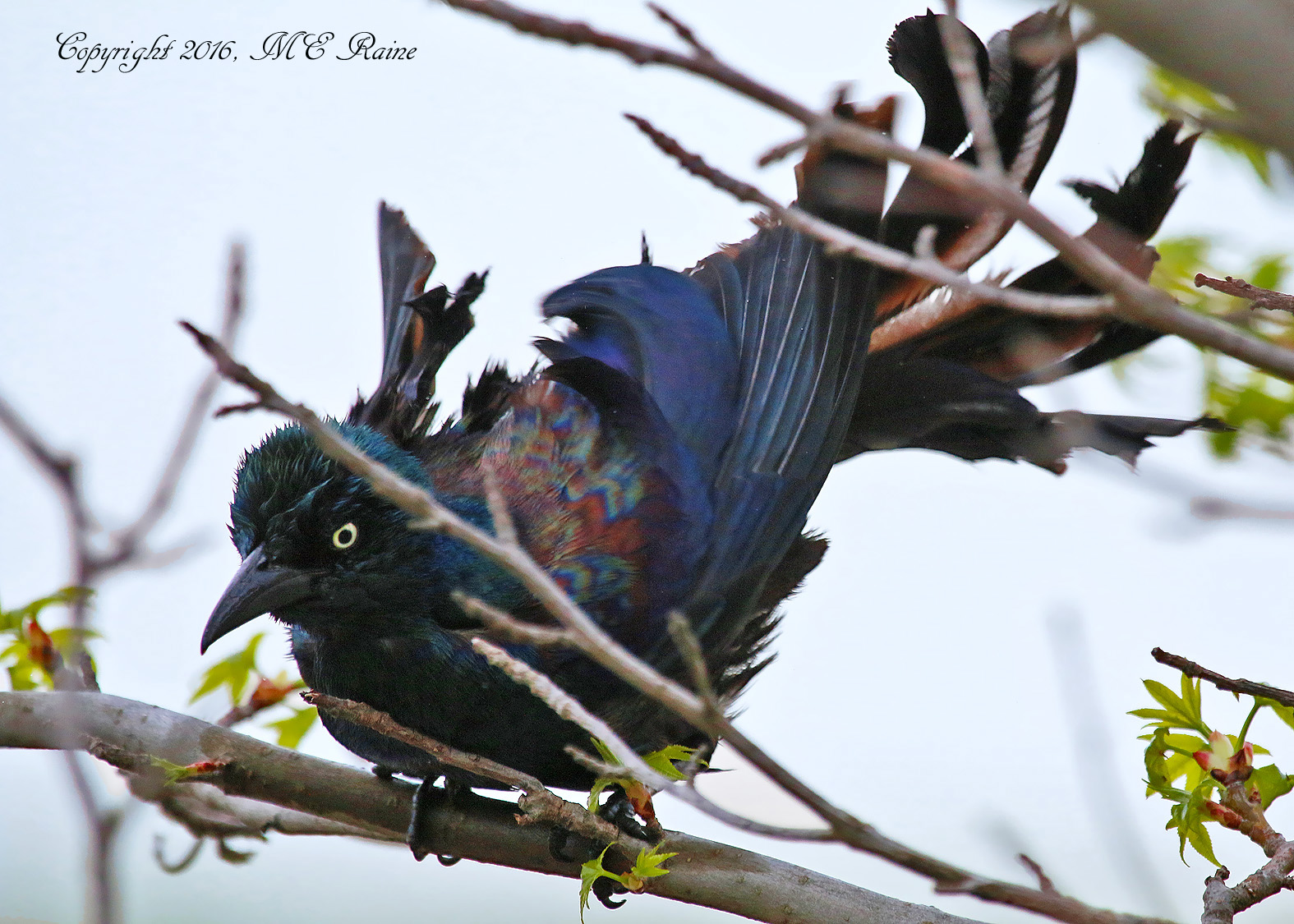 Grackle Common 009b1f MCM Mdwlnds NJ Drying Off from Bath 042516 OK FLICKR