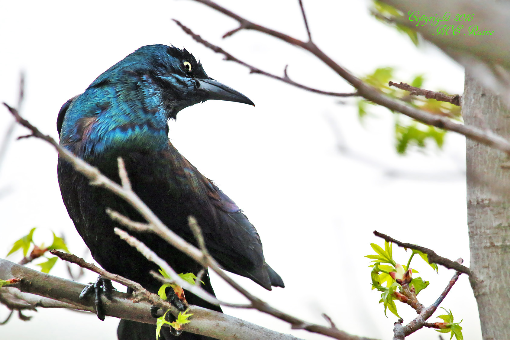 Grackle Common 009b2f MCM Mdwlnds NJ Drying Off 042516 OK FLICKR
